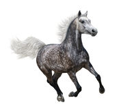 Galloping dapple-grey arabian horse. On white background Royalty Free Stock Images