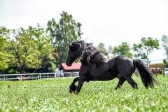 A beautiful Frisian stallion running free.