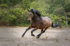 Galloping Galician Purebred Horse showing its strength and beauty in a field royalty free stock image