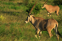 Galloping Gazelle Stock Images