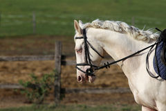Galloping gray horse. Beautiful white colored sporting horse canter on meadow Stock Images