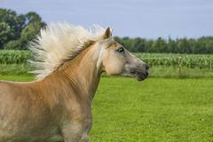 Galloping Haflinger Royalty Free Stock Images