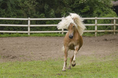 Galloping Haflinger Stock Photos