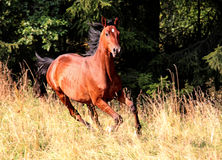 Galloping Hannoveraner. Running hannoveraner horse in the meadows Royalty Free Stock Photos