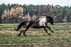 Galloping herd of friesian mares. And tinker together with foals. a flock of beautiful horses on a meadow royalty free stock photos
