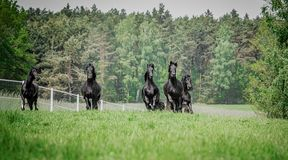 Galloping herd of friesian mares. Riesian mares galloping in the meadow stock photos