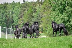Galloping herd of friesian mares. Riesian mares galloping in the meadow stock image