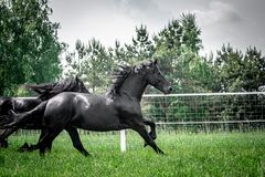 Galloping herd of friesian mares. Riesian mares galloping in the meadow royalty free stock image
