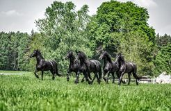 Galloping herd of friesian mares. Riesian mares galloping in the meadow royalty free stock photography