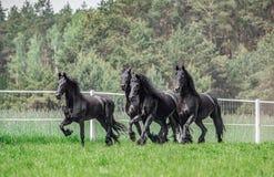 Galloping herd of friesian mares
