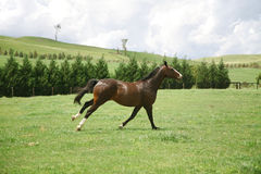 Galloping horse. A galloping thoroughbred horse in a green field Stock Images