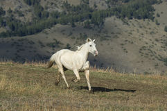 Galloping horse. Horse stampeding in Rocky Mountain foothills Stock Images