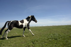 Galloping Horse. A black and white spotted horse galloping in a field Royalty Free Stock Photos