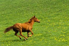 Galloping horse. With green natural background full of yellow flowers Stock Photos