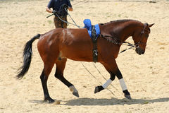 Galloping Horse. Photograph of a galloping dressage horse led using long reins royalty free stock photo