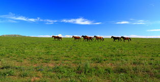 Galloping horse. At the Hulun Buir grassland Stock Photography