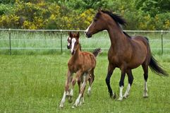 Galloping horse family. A family of horses galloping in the green pasture stock images