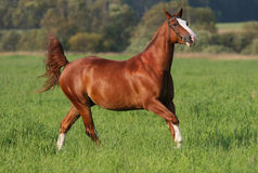 Galloping horse on field. Galloping chestnut horse on field stock photo