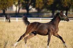 Galloping horse Royalty Free Stock Photography