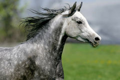Galloping horse on the meadow. Galloping arabian horse on the meadow Royalty Free Stock Photos