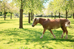 A galloping horse in the orchard. At Burrow Hill, Martock, Somerset (county in England), UK Royalty Free Stock Photography