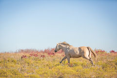 Galloping horse. Palomino horse galloping in a field on an autumn day Royalty Free Stock Photos