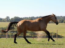 A galloping horse in a pasture. A horse with a brown body, black in some parts, with white spots and patches has been captured galloping in a green pasture Stock Photography