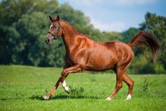 Galloping horse on a pasture. Galloping fox-colored horse on a lush green pasture Stock Images