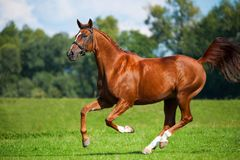 Galloping horse on a pasture. Galloping fox-colored horse on a lush green pasture Royalty Free Stock Photos