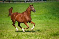 Galloping horse on a pasture. Galloping fox-colored horse on a lush green pasture Stock Photo
