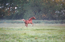 Galloping horse on pasture. In morning Royalty Free Stock Photo