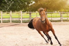 Galloping horse. In a riding camp Stock Image