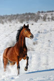 Galloping horse in snow winter. Field Stock Photography