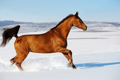 Galloping horse in snow winter. Galloping sorrel horse in snow winter field Stock Photos