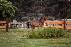 Galloping horse at sunrise in the meadow
