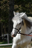 Galloping horse. White horse galloping in a riding school Royalty Free Stock Image