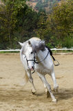 Galloping horse. White horse galloping in a riding school Royalty Free Stock Photography