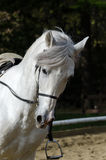 Galloping horse. White horse galloping in a riding school Stock Photos