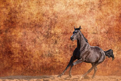 Galloping horse Royalty Free Stock Image