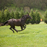 Galloping horses. Two galloping horses in a green field Stock Photography