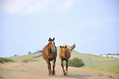 Galloping horses Royalty Free Stock Photography