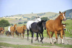 Galloping horses. On the grassland stock photos