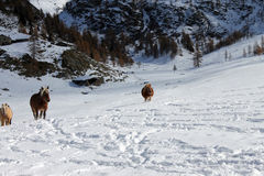 Galloping horses. Horses galloping in the snow during winter season in Valtournenche hamlet of Cheneil (ITALY Royalty Free Stock Photos