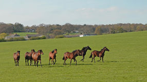 Galloping horses. In a  rural setting in Cheshire Royalty Free Stock Images