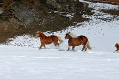 Galloping horses in Cheneil. Horses galloping in the snow in Cheneil (Valtournenche - ITALY Stock Image