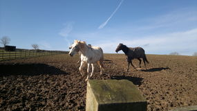 Galloping Horses in A Field. Horses galloping across a muddy field on a sunny day. With clear blue sky, shadows of a white and brown horse and some trees on the Stock Photos