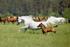 Galloping horses in the pasture. Galloping arabian horses in the pasture Royalty Free Stock Photography