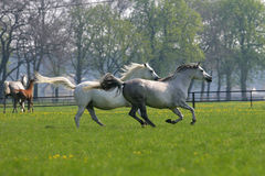 Galloping horses in the pasture. Galloping arabian  horses in the pasture Royalty Free Stock Images