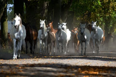 Galloping horses at pasture Royalty Free Stock Image