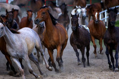 Galloping horses at pasture Stock Image